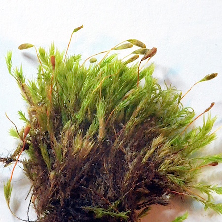Pohlia longicolla