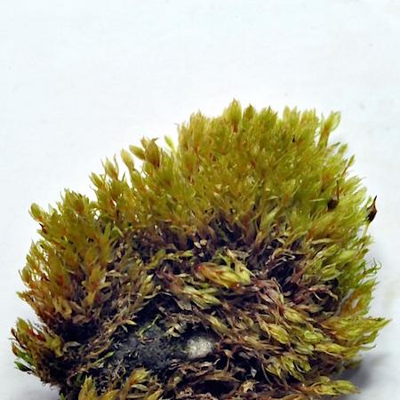 pohlia melanodon