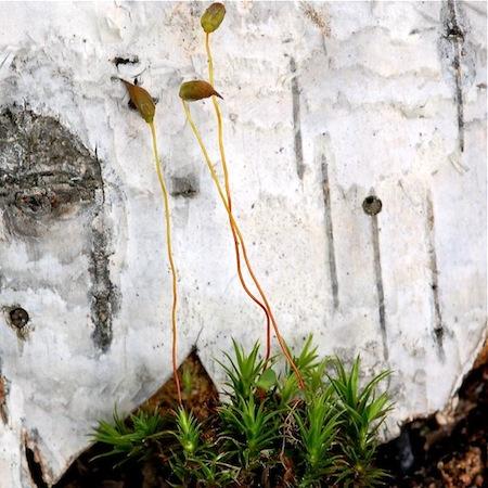 polytrichastrum longisetum
