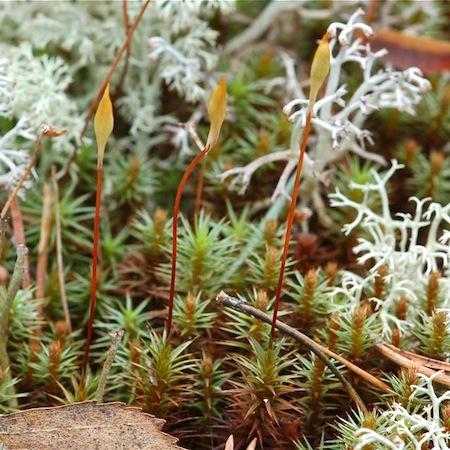 polytrichum juniperinum