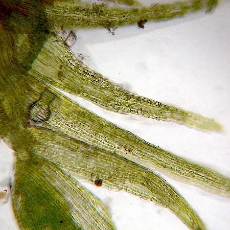 Pseudephemerum nitidum