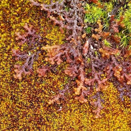 ptilidium pulcherrimum