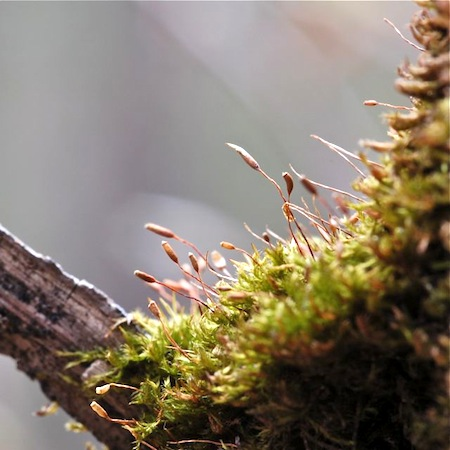 pylaisia polyantha