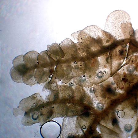Radula lindenbergiana