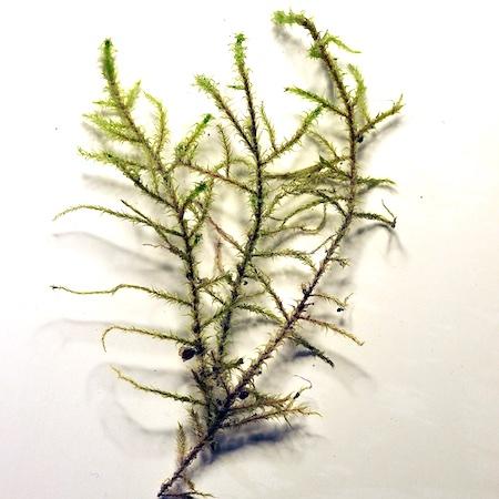 Rhytidiadelphus subpinnatus