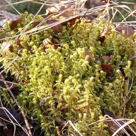 rhytidiadelphus triquetrus<empty>