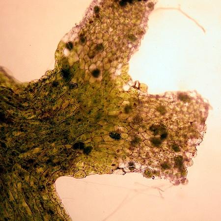 Riccardia chamedryfolia