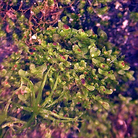 Scapania apiculata