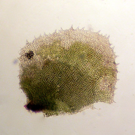 Scapania spitsbergensis