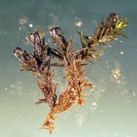 schistidium agassizii