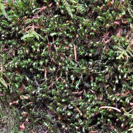 schistidium apocarpum