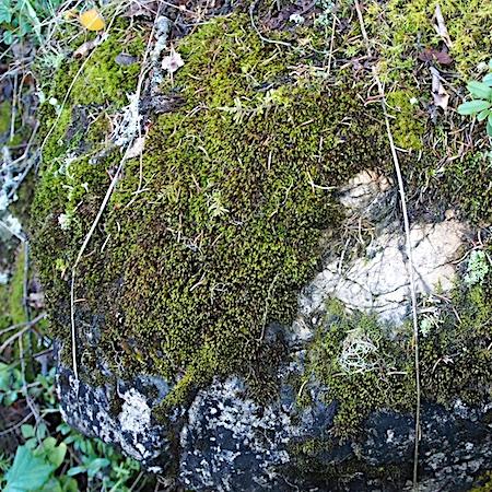Schistidium boreale
