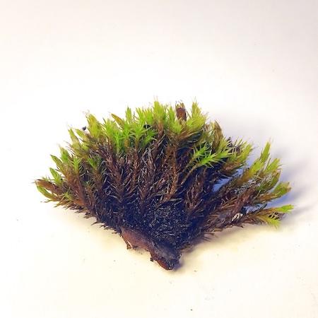 Schistidium fricidum