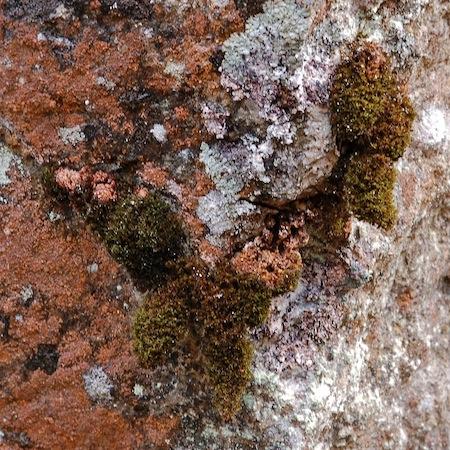 schistidium lancifolium