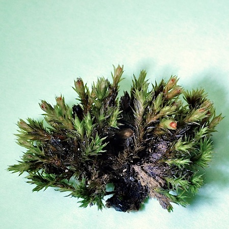 Schistidium pulchrum