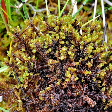 scorpidium cossoni
