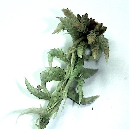 sphagnum aongstroemii