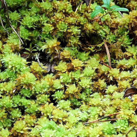 sphagnum compactum