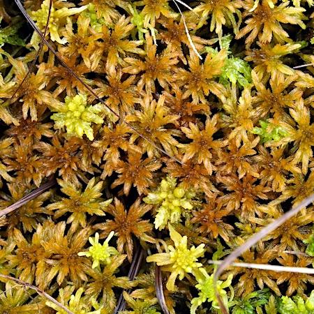 Sphagnum lindbergii