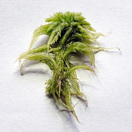 Sphagnum viride