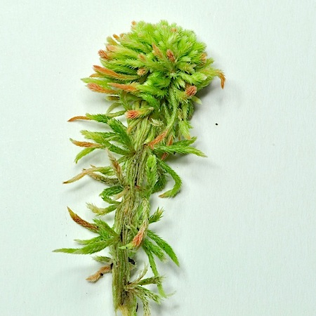 Sphagnum wulfianum