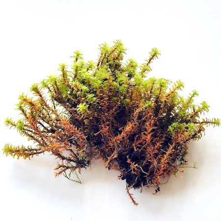 Syntrichia ruralis