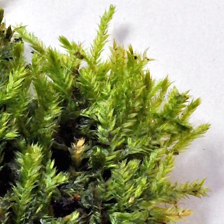 Taxiphyllum wissgrillii