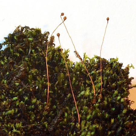 Tayloria lingulata