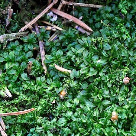 tayloria tenuis