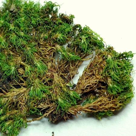 tortella fragilis