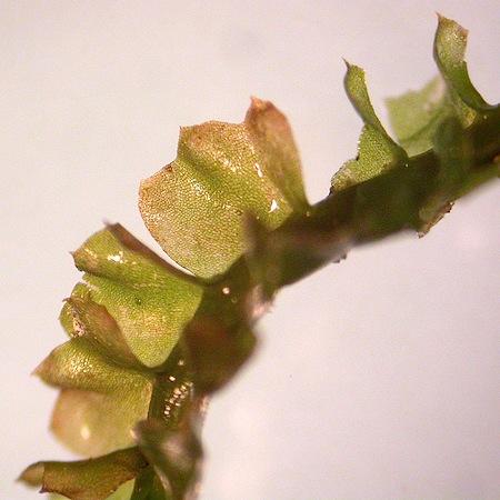tritomaria quinquedentata