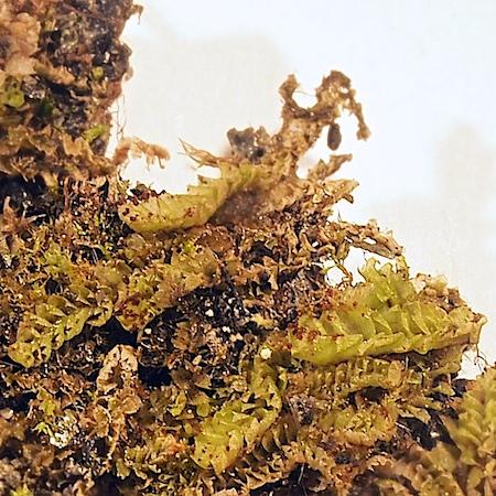 Tritomaria scitula