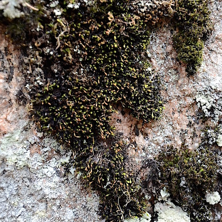 Ulota curvifolia