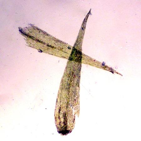 Warnstorfia pseudostraminea