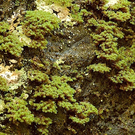 zygodon rupestris