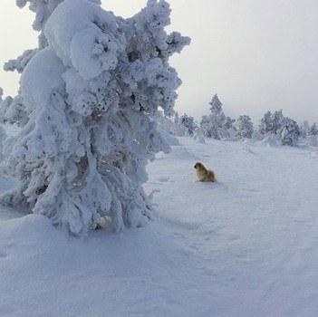 Tuulan Sanni-koira ihastelemassa tykkypuita Luostotunturin päällä.