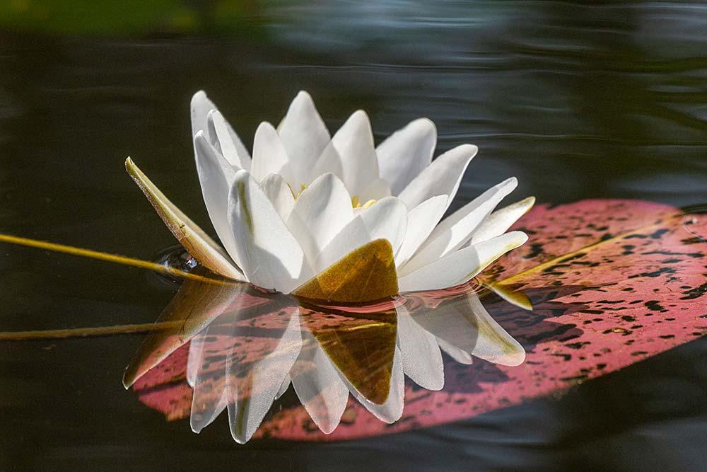 Luontokuvakoulu 48 - Lumpeenkukka, kuvannut Leena Rahkamo