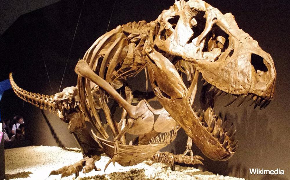 Daar is ze dan: Trix (de eerste T. Rex met een Nederlands paspoort)