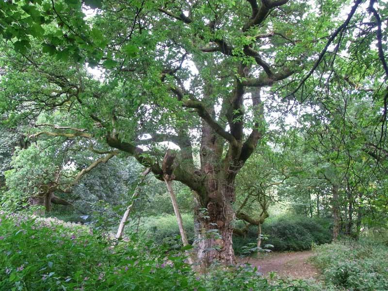 Visitar-Dunkeld-Escocia-Birnam-Oak