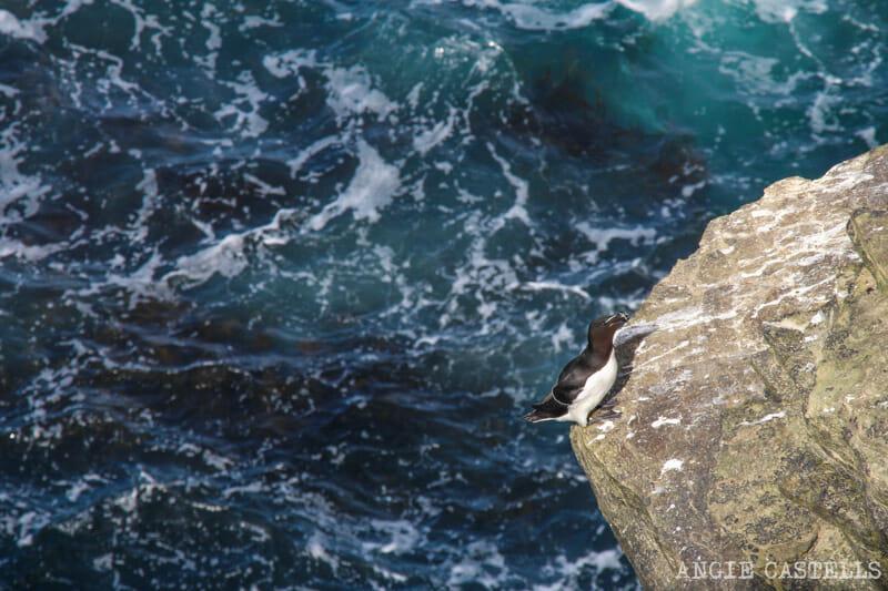 Que ver Orkney Islas Orcadas Aves Alca