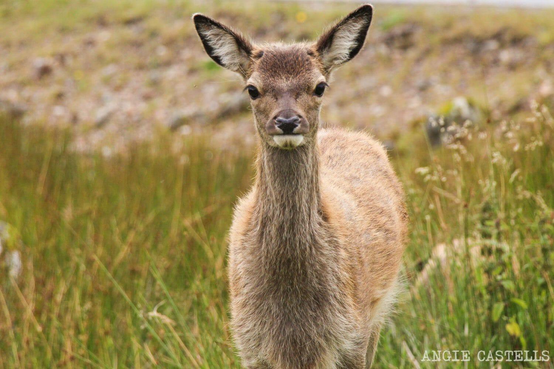 Turismo-responsable-Escocia-ciervos-Glencoe-1500