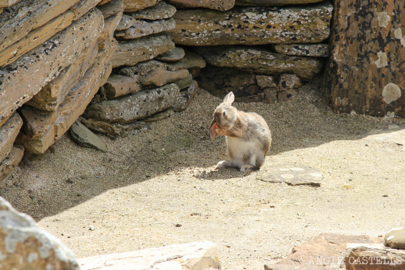 Turismo-responsable-Escocia-Conejo-Islas-Orcadas-Orkney