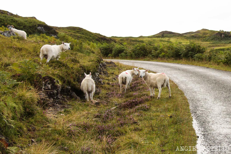 Cosas-que-te-pasan-viajar-por-Escocia-1500-Ovejas