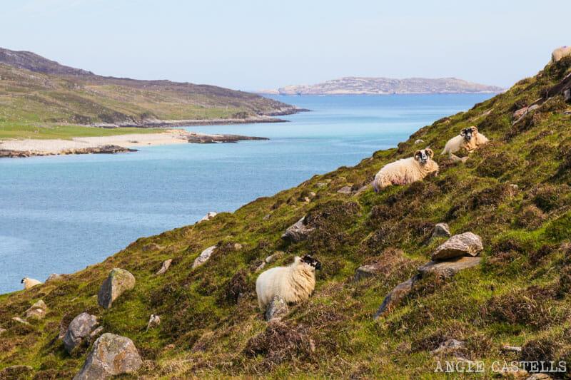 Razones para visitar la isla de Lewis y Harris - Ovejas en Huisinis