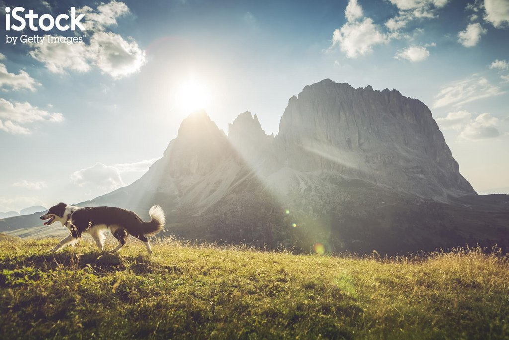 Border collie - Dolomites, Italie.