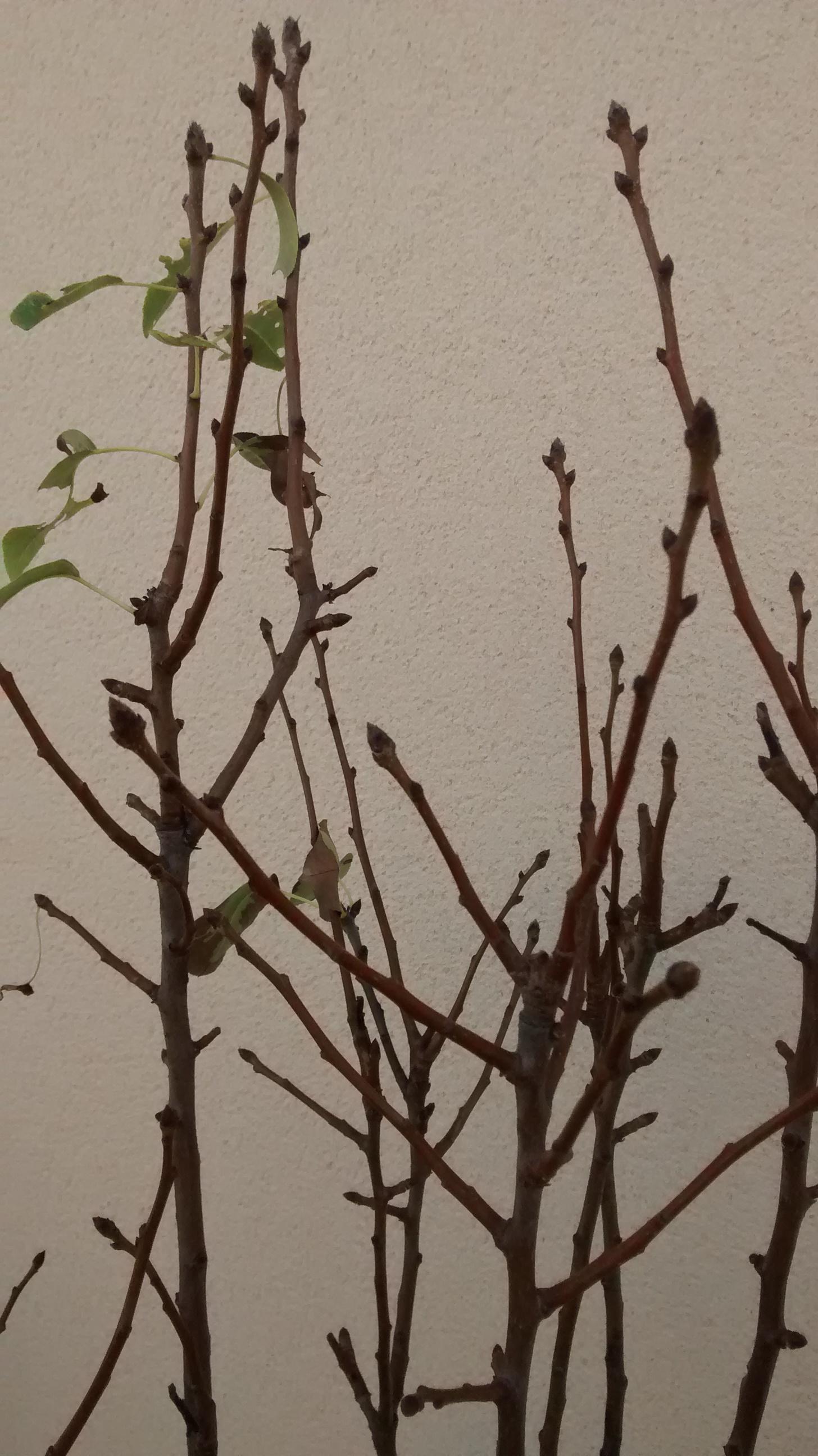 poirier chute des feuilles noires - au jardin, forum de jardinage