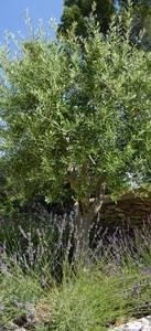 Petit arbre et lavande