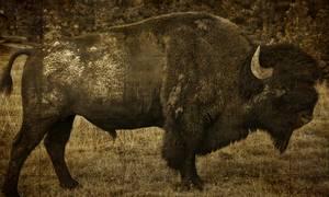Bison adulte de profil