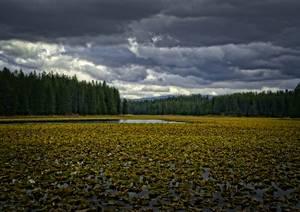Lac recouvert de nénuphars jaunes