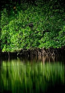 Mangrove verte sur étendue d'eau calme